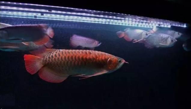 红龙鱼怎么养?永远都忘不了我养龙生涯的第一条红龙!
