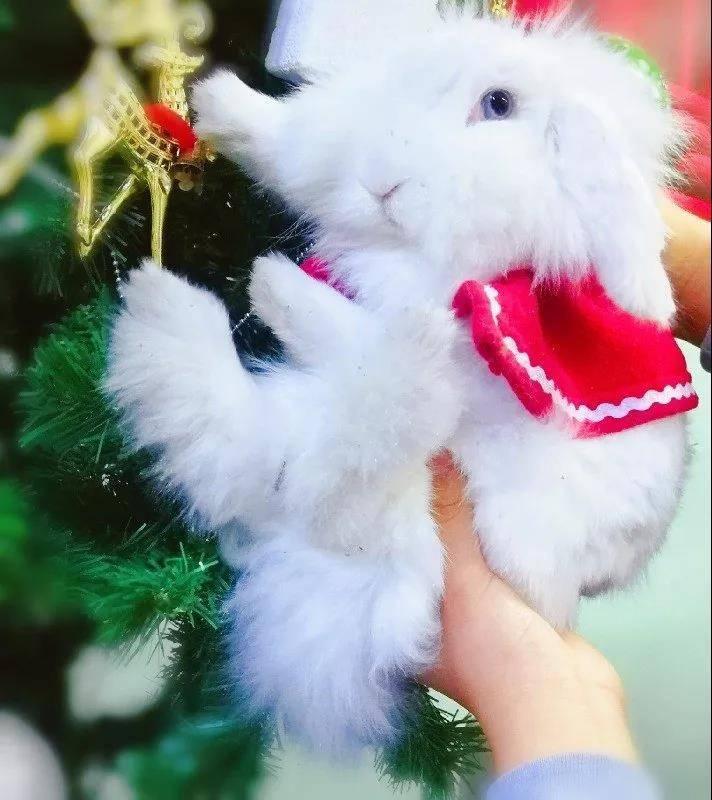 海棠兔祝大家圣诞节快乐