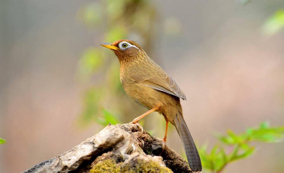 画眉鸟遛鸟知识你懂多少
