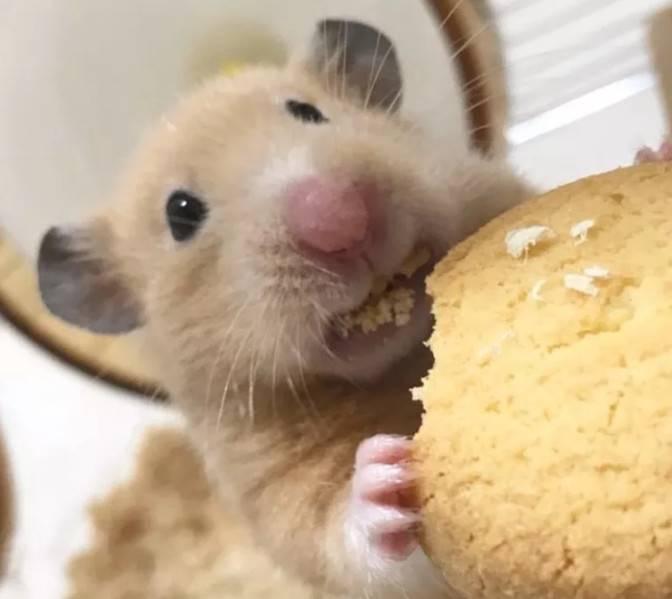 金丝熊是仓鼠表情大全