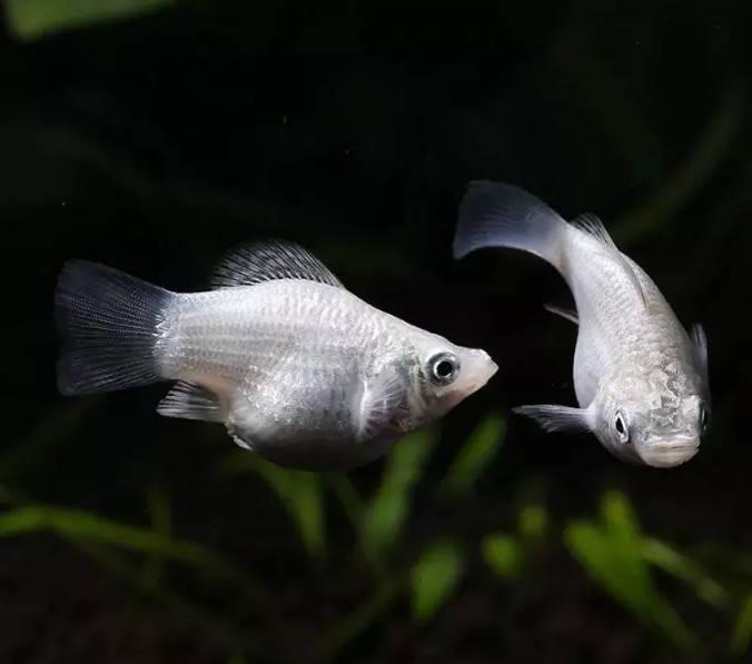 胎生繁殖最快的鱼有哪些?什么鱼是胎生的,这几种观赏鱼太能生,发愁啊!