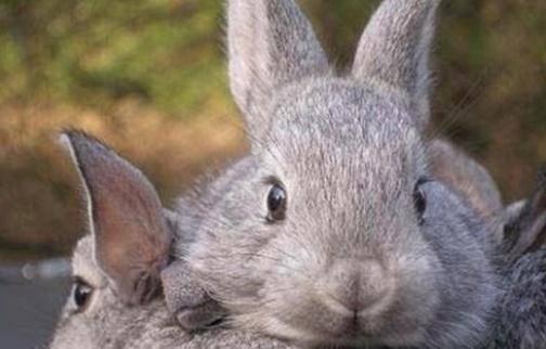 公兔子发情的症状
