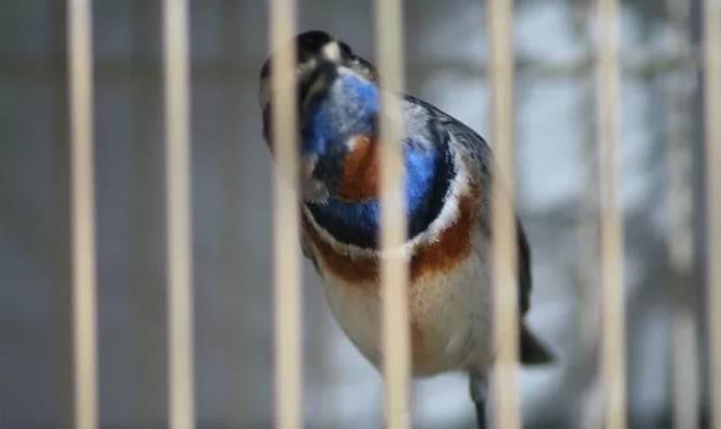 怎样才能选出一只好的叫鸟春蓝
