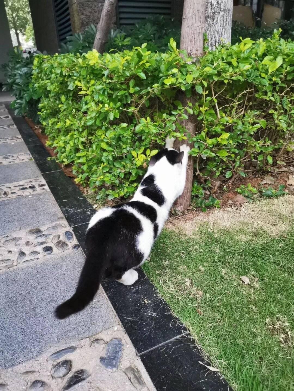 小区里撸猫指日可待,终于来了只胆大的。