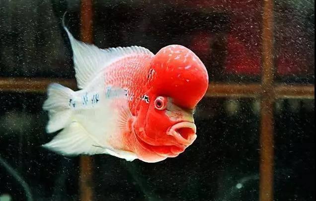 罗汉鱼苗的挑选,能提高罗汉鱼成鱼的品质!