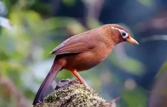 画眉鸟怎么驯养,驯养画眉鸟的十大误区
