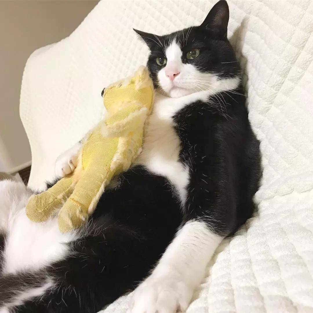 这只奶牛猫完美还原我春困的状态:基本上是一只废猫了