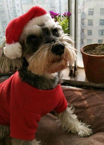 今年的圣诞是窝在家里跟毛孩子们一起过的。为了迎接圣诞老公公,毛孩子们也积极配合,穿上新衣,带上新帽,耐心等着。毛孩子们的心愿是要只萌萌的喵星人弟弟,考虑再三,我觉得她们还太小,不能照顾好弟弟,所以,此事再议。我们还去看了羊驼和麋鹿,哈宝很热情,小毛球有点害羞,躲在我身后,不想跟羊驼和麋鹿打招呼。回家后,发现圣诞老公公送来了鸡肉红薯干,毛孩子们很开心的忘记了没有得到喵星人弟弟的失望。
