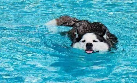 狗天生会游泳吗