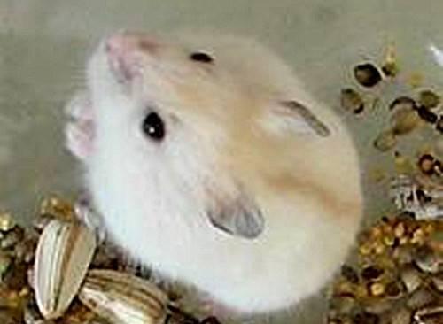 仓鼠寿命多长,仓鼠怎么养能延长仓鼠的寿命,不容易死