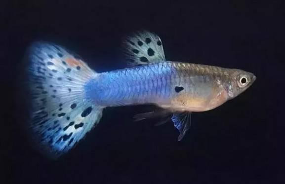 孔雀鱼小鱼错过生长期,发色和个头怎么办?