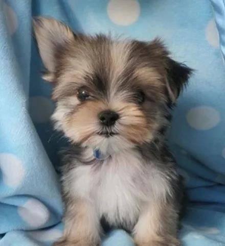 狗狗成长的过程中,会经历让它难堪的尴尬期不过竖耳朵的时候,一只立着一只垂着倒是意外的可爱呢。