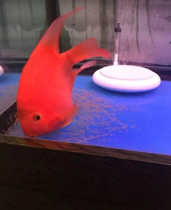 血鹦鹉在鱼缸里产卵了咋办?