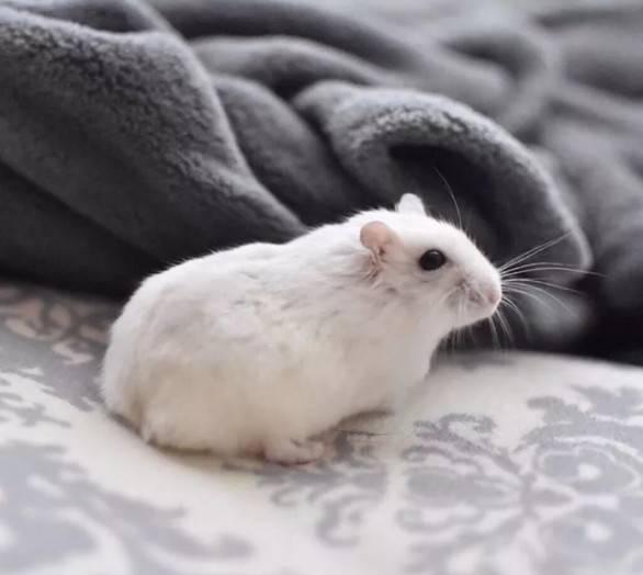 仓鼠疯狂跑滚轮正常吗,为什么仓鼠会疯狂的运动?