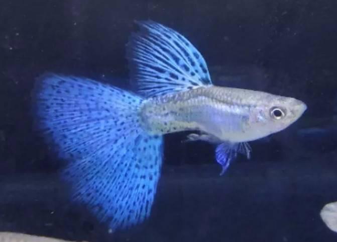 孔雀鱼品种,孔雀鱼的体色分类,盘它!
