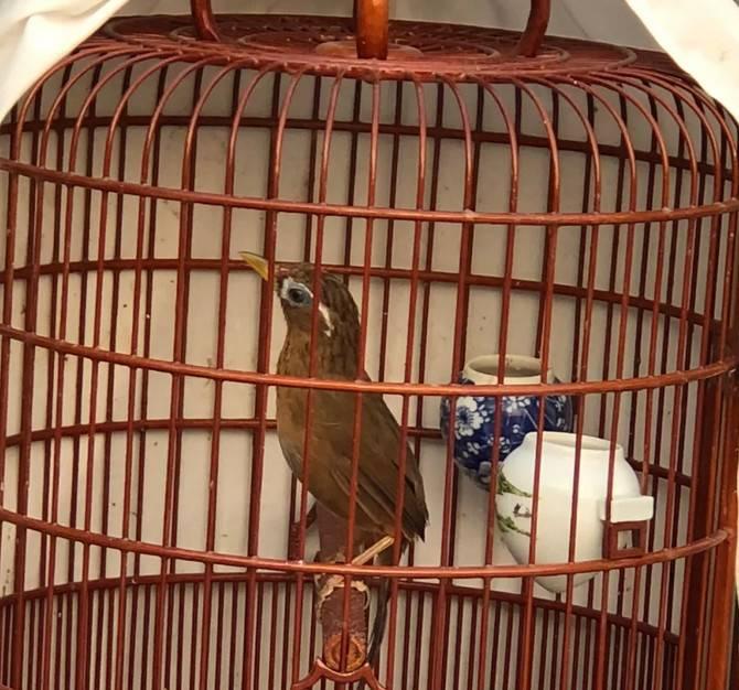多听画眉鸟叫声有益健康