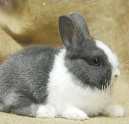 荷兰兔该怎么养护呢?