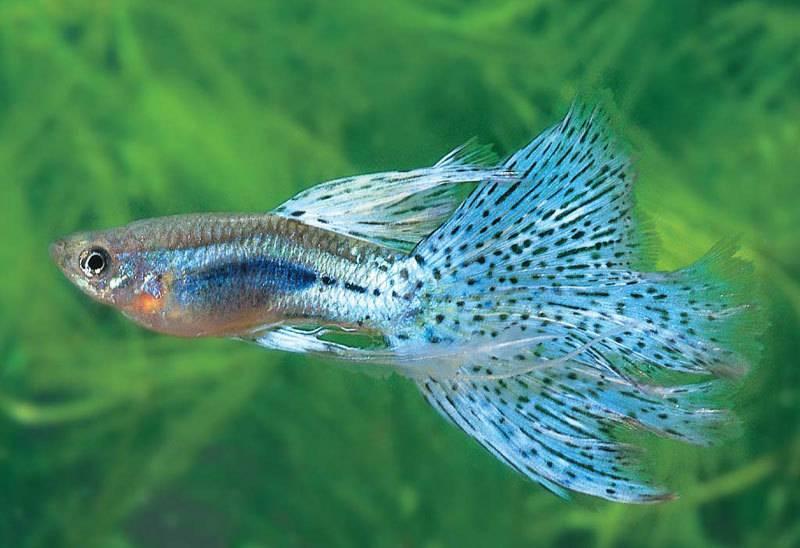 草尾孔雀鱼(Grass),为人工改良品种,尾背同色;宽大的尾鳍上布满黑色圆形的细小斑点,花纹细致如草皮;色深鲜明的菱形斑具有金属光泽,背鳍较宽大;其尾部有标准尾鳍和玻璃尾两种。