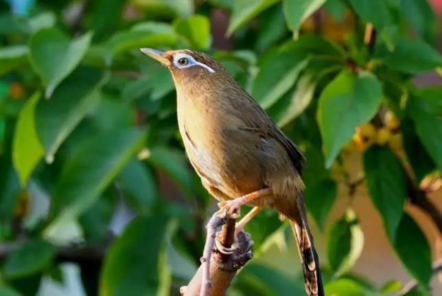 导致画眉鸟咬尾自残的治疗与预防