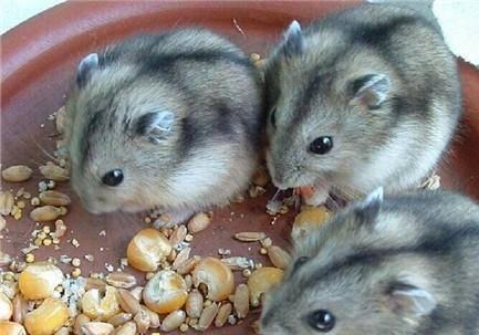 如何让两只仓鼠仓鼠交配繁殖呢?