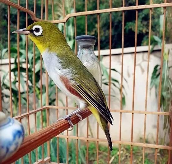 去林子里抓来的绣眼鸟哈哈,有些鸟友可能不具备抓鸟的条件。