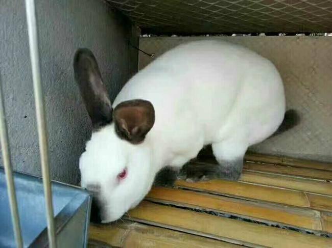 兔子得了严重毛球症,吃化毛膏也不管用怎么办?