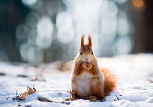 黄山松鼠多少钱一只