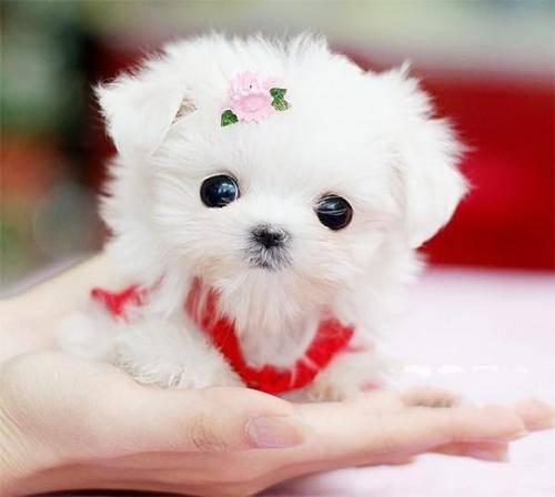 世界上最小的狗,来涨点知识