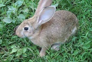 塞北兔该怎么饲养?