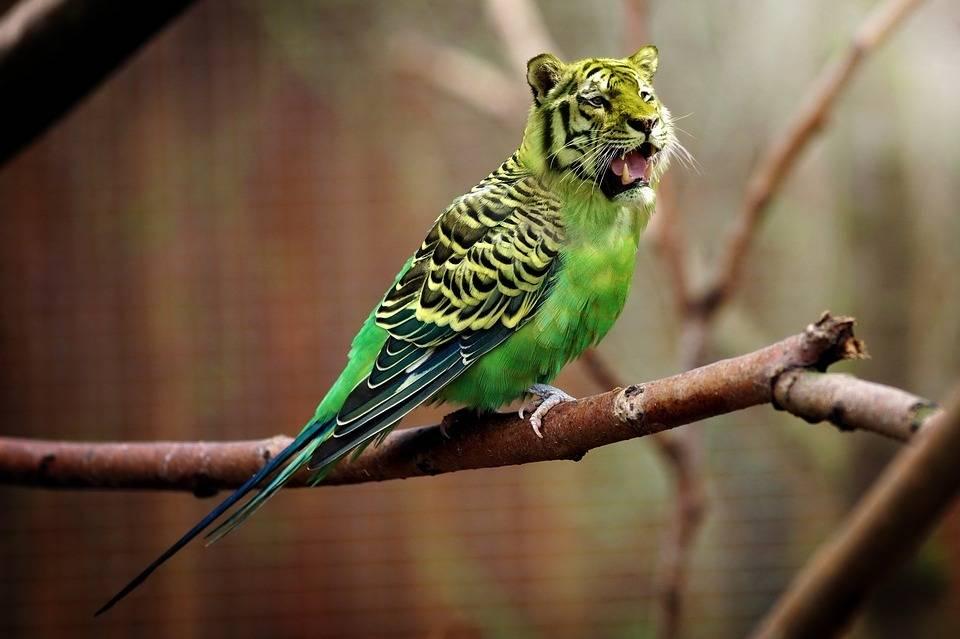 老虎头长尾鹦鹉,哈哈太假