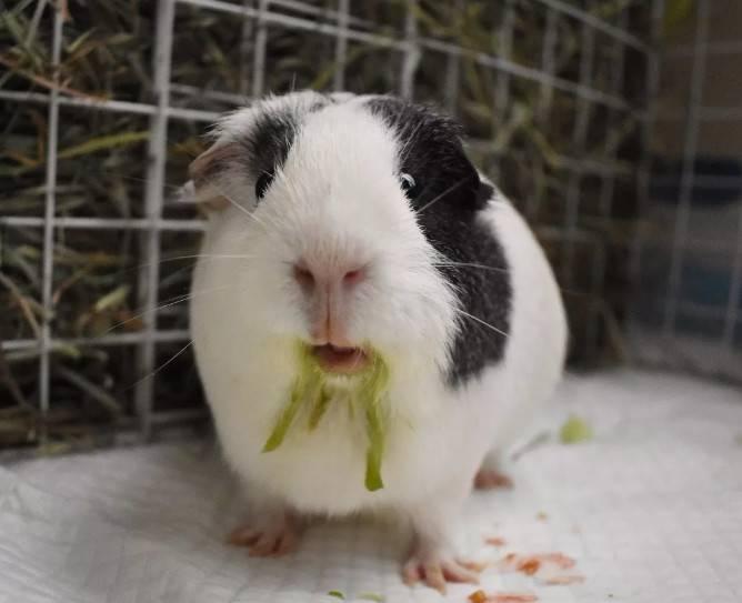 荷兰猪喜欢吃什么?