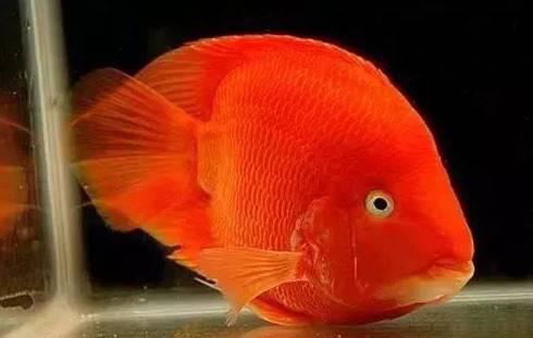 盘点血鹦鹉鱼褪色的N种可能,涨姿势啦!~