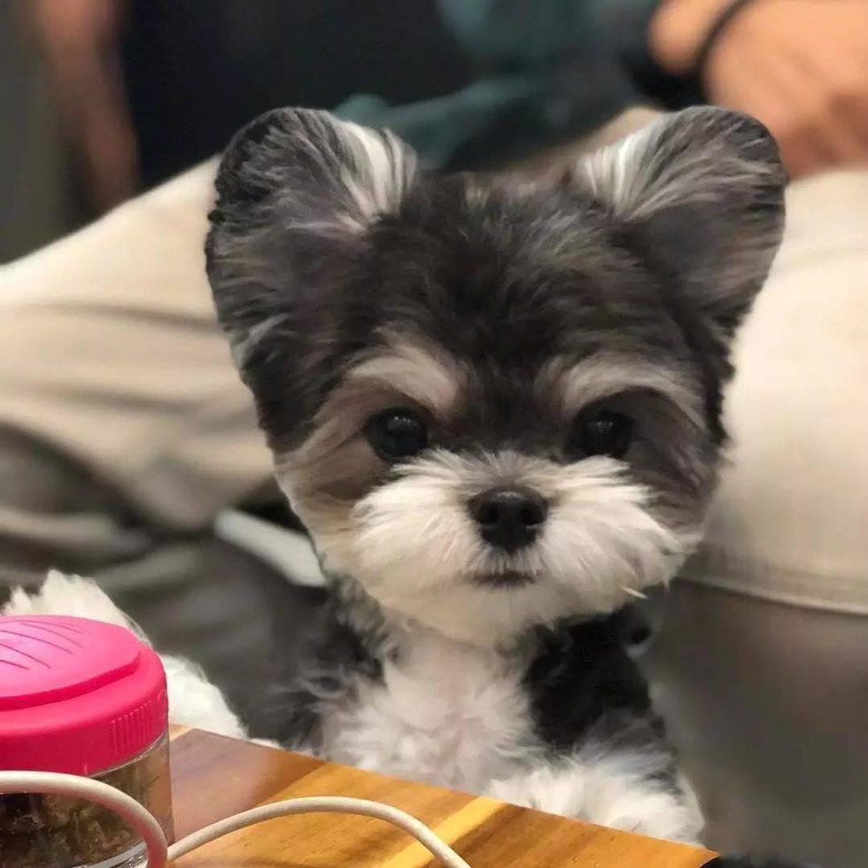 网友家的狗子是雪纳瑞和贵宾混血,所以同时拥有雪纳瑞直挺挺的大耳朵,和贵宾蓬蓬的毛。这一脸气鼓鼓的小表情和支棱着的大耳朵,也太可爱了吧!
