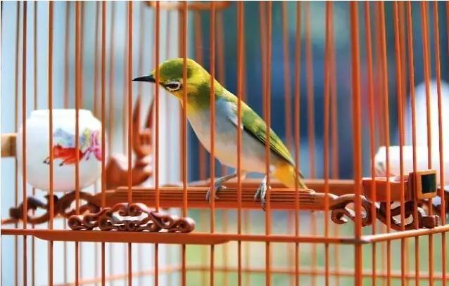 笼中的绣眼鸟
