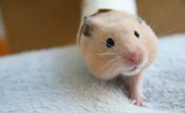 哪些情况会导致仓鼠腹泻?