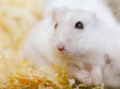 仓鼠能吃核桃吗