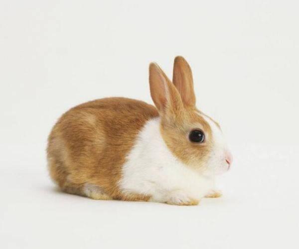 兔子发烧了怎么办