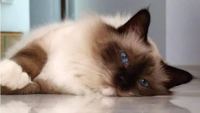 伯曼猫~枚黏人的小妖精