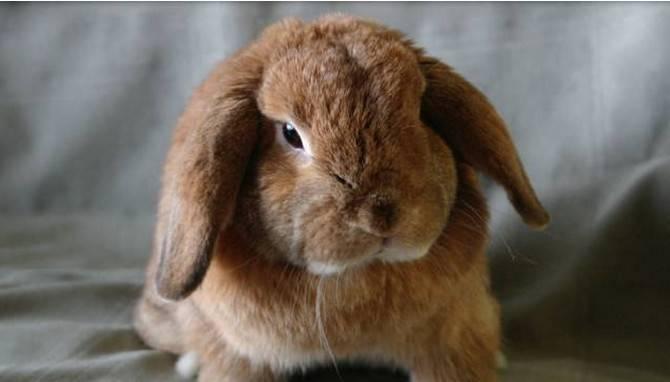 兔子容易得什么病,兔子常见五大疾病