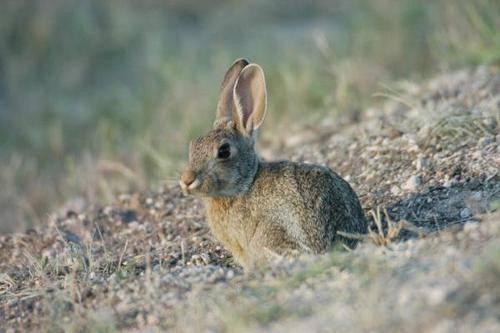 沙漠棉尾兔该怎么养?