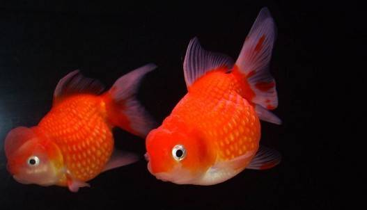 红珍珠金鱼