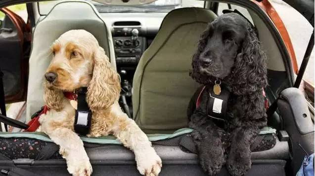 狗狗晕车,狗狗晕车吐了怎么办