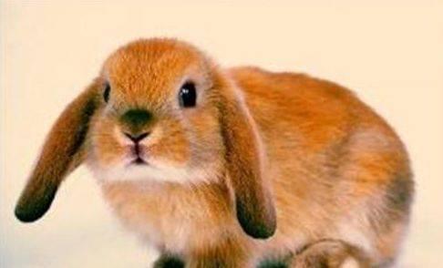 小兔子吃什么食物