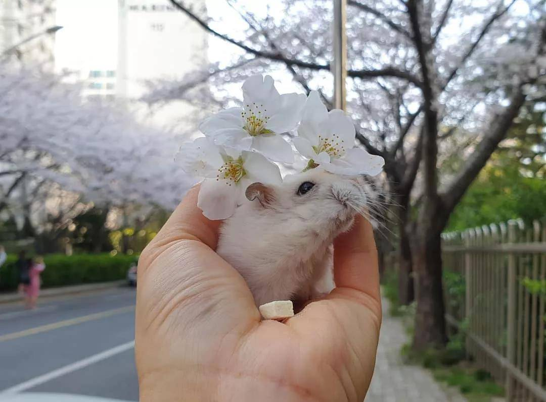一组樱花和仓鼠的合照,春天真好呀
