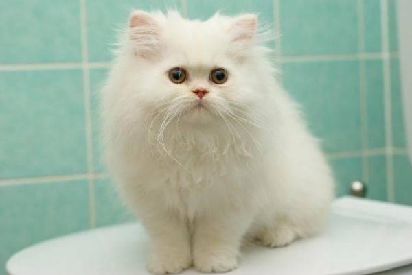 母猫子宫蓄脓症状