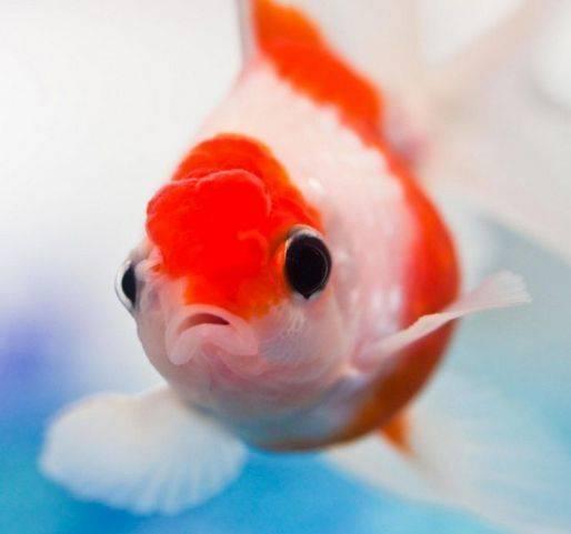 鹅头红金鱼