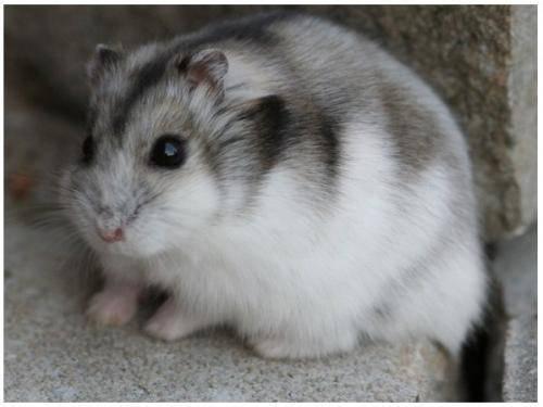 仓鼠冬天怎么养?仓鼠如何过冬?