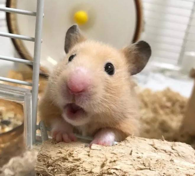 关于仓鼠的牙齿,你要知道这些