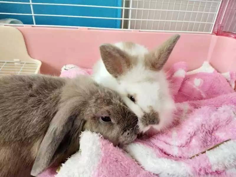 这对兔兔兄弟,不是亲兄弟,但不知道为什么感情特别好。卡其色垂耳是荷兰垂耳混德国垂耳,叫迪迪。后来我麻麻逛展销会,看见了白白,他当时跟四五只小兔子挤一个笼子里,别兔都闭着眼睡觉,只有他到处蹿,就把他带回家了,刚回家白白路都走不稳。之前听说两只公兔兔在一起会打架,我还很担心,结果他俩一见如故啊!白白谁都怕,却特别黏迪迪,喜欢往他肚子下钻,喜欢给他舔毛,迪迪走到哪里他跟到哪里。相处了几个月,我带白白去绝育,走了一天,迪迪竟然在家不吃不喝~ 俩小可爱真的特别治愈~只有在哥哥身边白白才睡得如此安心(ღ˘⌣