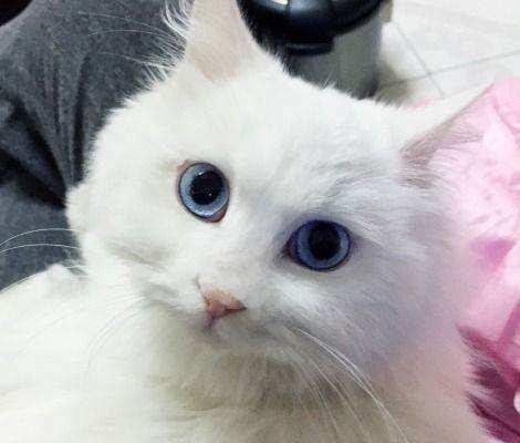 猫咪发情怎么办,有什么症状
